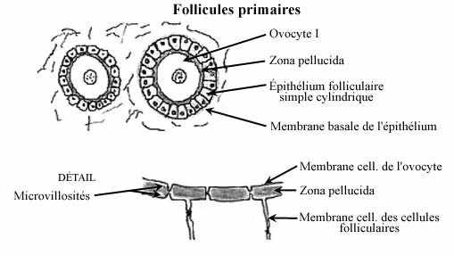 circulation fœtale schéma