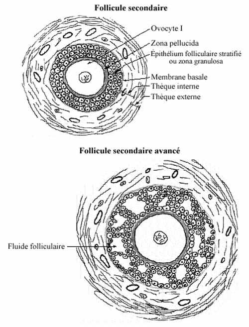taille ovule humain