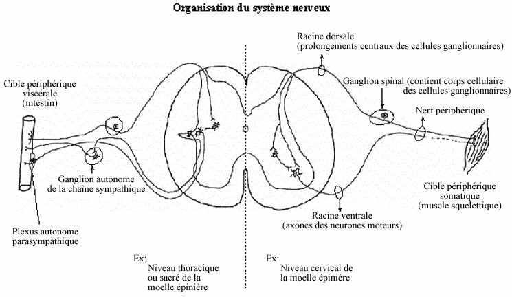 Systeme nerveux le blog mouhamadouseye par mouhamadou - Coupe transversale de moelle epiniere ...